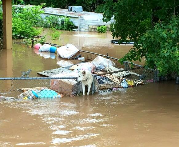 6.2.16-News-Crew-Saves-Chained-Dog-Up-to-Her-Neck-in-Flood-Water5